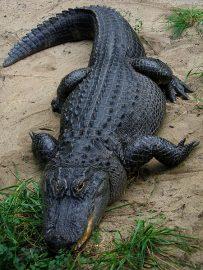 Alligator sandwich