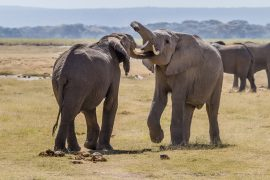 Why do elephants paint their toenails red?Those crafty elephants! The answer to the riddle revealed.