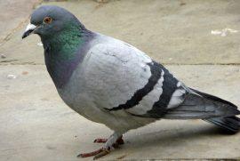 Pigeon Pun